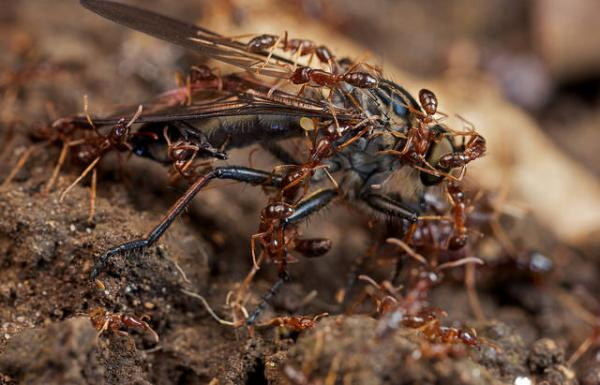 Army ants in action